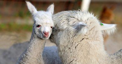 Fotowedstrijd: Wie maakt de mooiste foto's van Alpaca's?