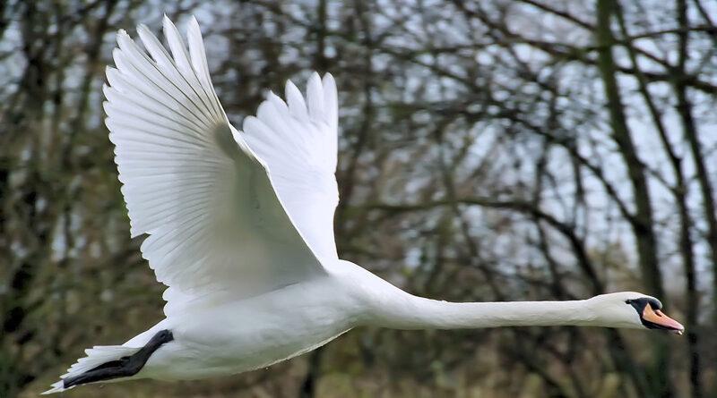 Landelijke ophokplicht  voor commercieel gehouden pluimvee na vastellen zwaarste variant vogelgriep